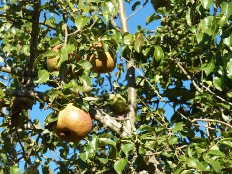 16sep_pears_sm